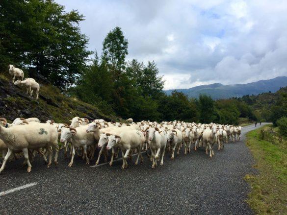 Auf den Strassen Schafe, überall Schafe - Pyrenäen Durchquerung Rennrad